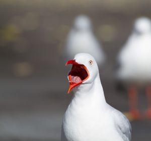 Seagull swear